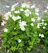 Japanese Anemone Plant, Windflower Perennial in Glendale Heights, Illinois