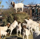 We supply Boer Goats , Sheep & beef slaughter and fattening bulls in New Orleans, Louisiana