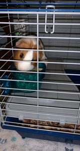 guinea pig in The Woodlands, Texas