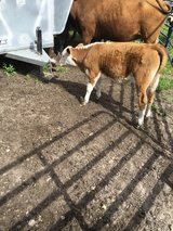 Red White face bull calf 6 months old on feed in Fort Polk, Louisiana