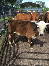 Black Hereford bull calf 6 1/2 months old can be registered in Fort Polk, Louisiana