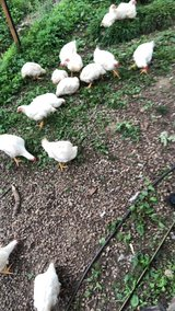 Meat Chickens in Camp Pendleton, California