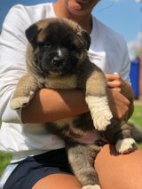 Registered Pure Bred Akita Puppies in Tampa, Florida