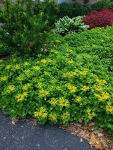 Flowering Groundcover in Plainfield, Illinois