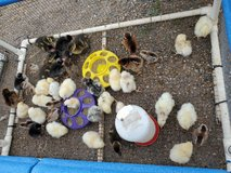 chicks and pea chicks in Fort Polk, Louisiana