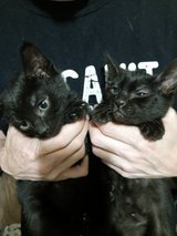 4 beautiful cuddly kittens searching for their forever homes in Fort Lewis, Washington