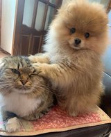 Pomeranian puppies available for free in Camp Pendleton, California