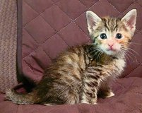 Polydactyl & Manx Kittens in The Woodlands, Texas