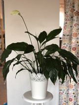 Potted Peace Lily in Ramstein, Germany