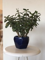 Potted Jade Plant in Ramstein, Germany