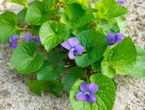 Organic Sweet Purple Violet Plant, Not Potted - Perennial in Plainfield, Illinois