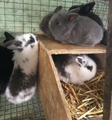 September  SPECIAL PRICES Baby Rabbits and Guinea Pigs  from £15 in Lakenheath, UK