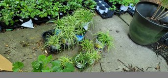 Carex Japanese Silver Grass Sedge in Glendale Heights, Illinois