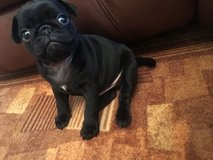 pug puppy for homes in Fort Drum, New York
