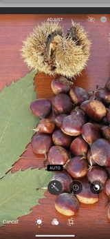 AMERICAN CHESTNUT in Fort Campbell, Kentucky