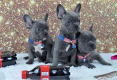 Blue French Bulldog pups (217) 471-7677 in Bellaire, Texas