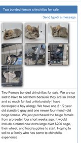 2 bonded female chinchillas need a new home Selling with cage wheel and everything in Glendale Heights, Illinois
