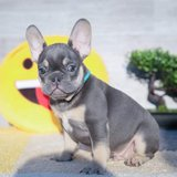 Frenchie. in Fort Drum, New York
