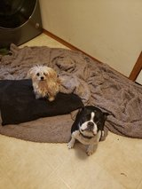 Yorkie and Boston for adoption in Fort Lewis, Washington