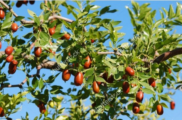 CHINESE DATES, Ziziphus Jujube Tree | Lawn & Garden for sale on ...
