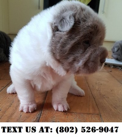 Great Chinese Shar-Pei Puppies for Adoption | Pets: Adoption for