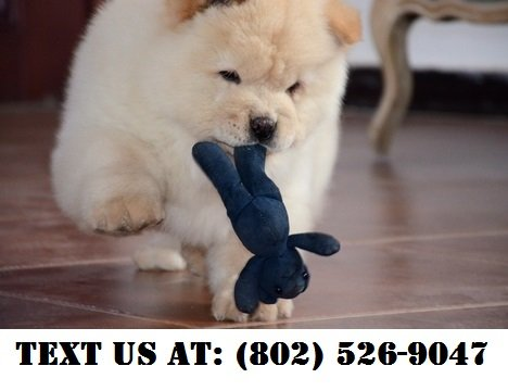 Peaceful Chow Chow Puppies For Adoption Pets Adoption For Sale On