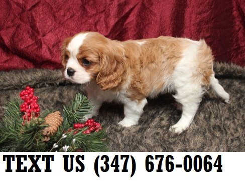 Talented Cavalier King Charles Spaniel Puppies For Sale Pets
