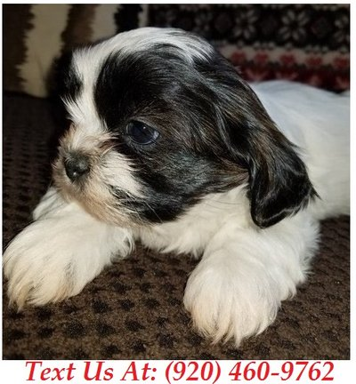 incredible Shih Tzu Puppies For Adoption Text us (920) 460
