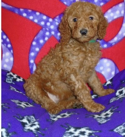 Kind Standard Poodle pups  FOR MORE INFO TEXT OR CALL (801) 829-1836