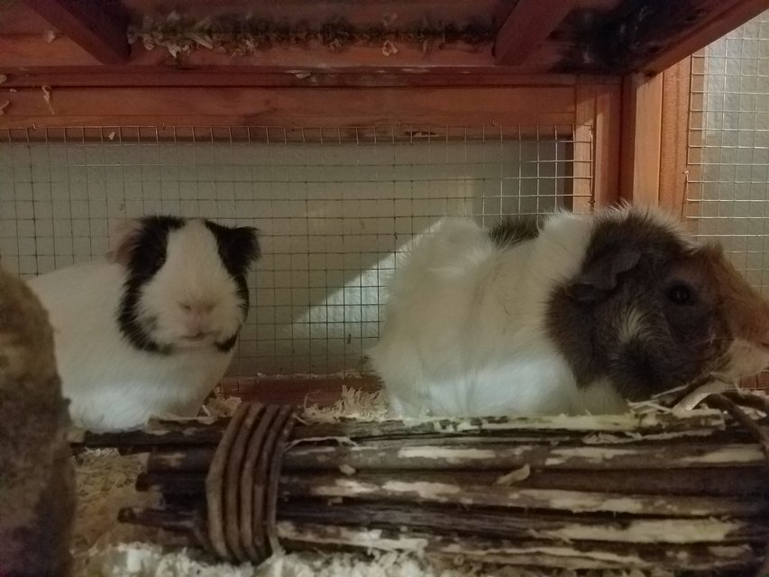 Male Guinea Pigs Pets For Sale On Colorado Springs Bookoo