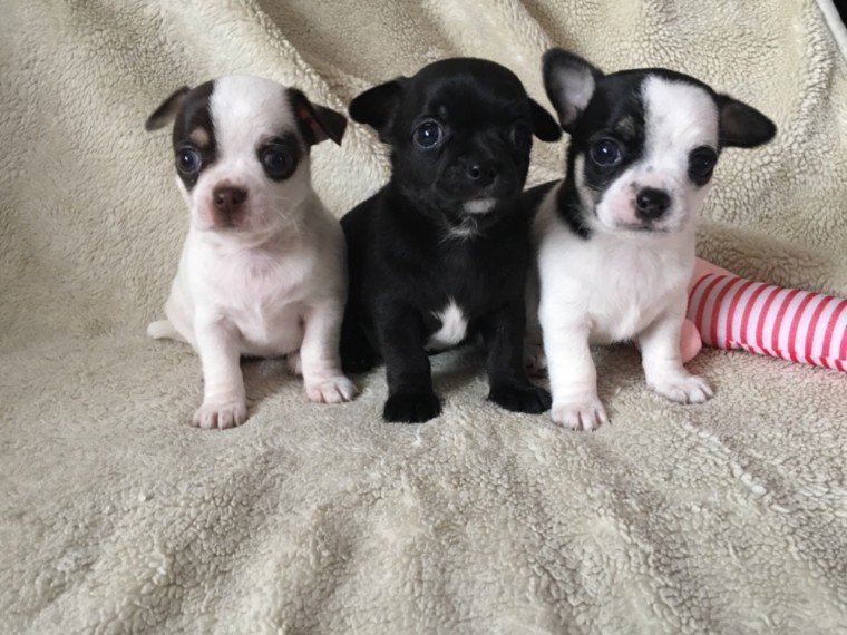 Free Akc Reg Tcup Chihuahua Puppies Pets Adoption For Sale On